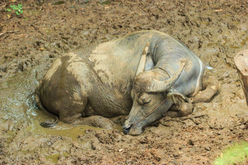 à¸'Buffalo Таиланд стоковые изображения