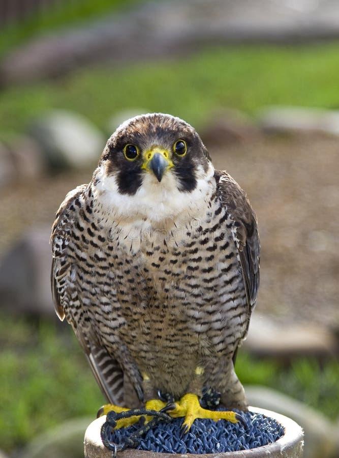 À Cape Town, un oiseau prédateur en parc national de montagne de Tableau ressemble à un oiseau de faucon image stock