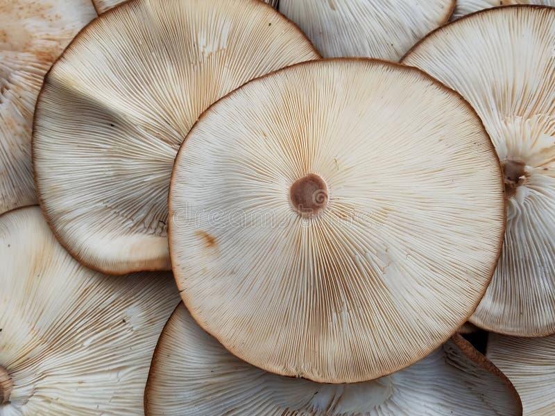 À l'envers entièrement ouvert de champignon de shiitaké - octobre photos stock