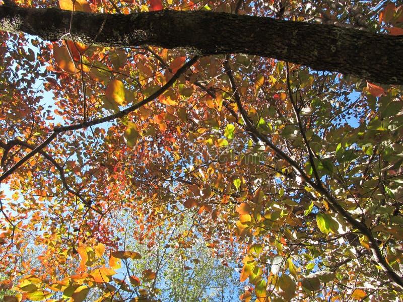 À l'intérieur d'Autumn Dogwood image libre de droits