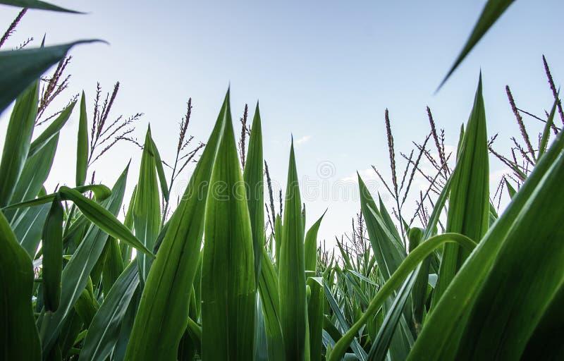 À l'intérieur d'un jeune champ de maïs photo stock