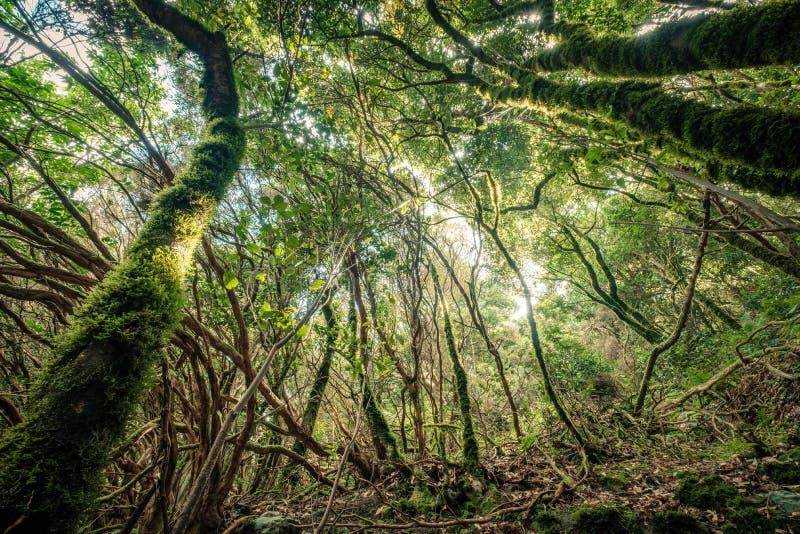 À l'intérieur de la forêt, ambiance magique de forêt de nuage d'Anaga photo stock