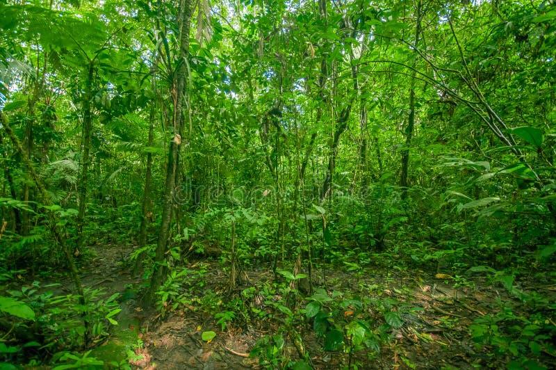 À l'intérieur de la jungle amazonienne, entourage de la végétation dense en parc national de Cuyabeno, l'Amérique du Sud Equateur images libres de droits