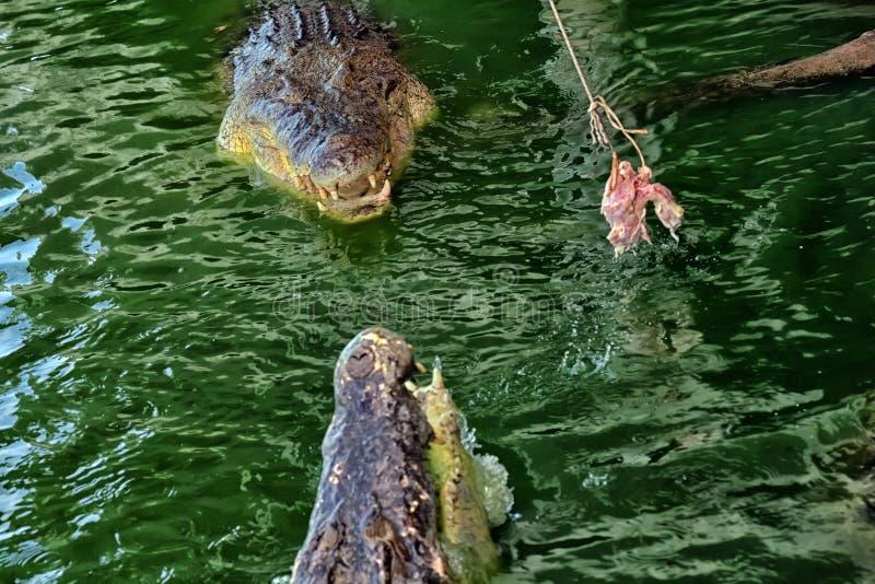 à la ferme de crocodile en Thaïlande image libre de droits