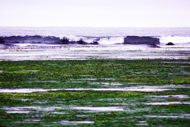 à marée basse dans la baie, sur les algues de bord de mer et le chou marin sont jetés, des vagues photo libre de droits
