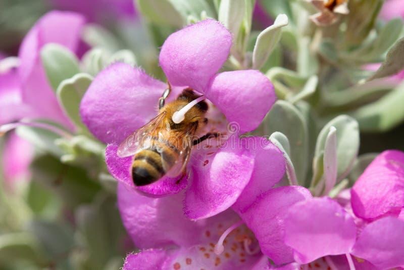 À pleine vue de l'abeille enterrée en fleur sage pourpre photo libre de droits