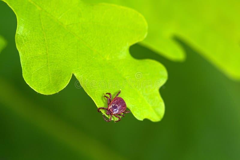 Ácaro do parasita que senta-se em uma folha verde Perigo da mordida do tiquetaque imagem de stock