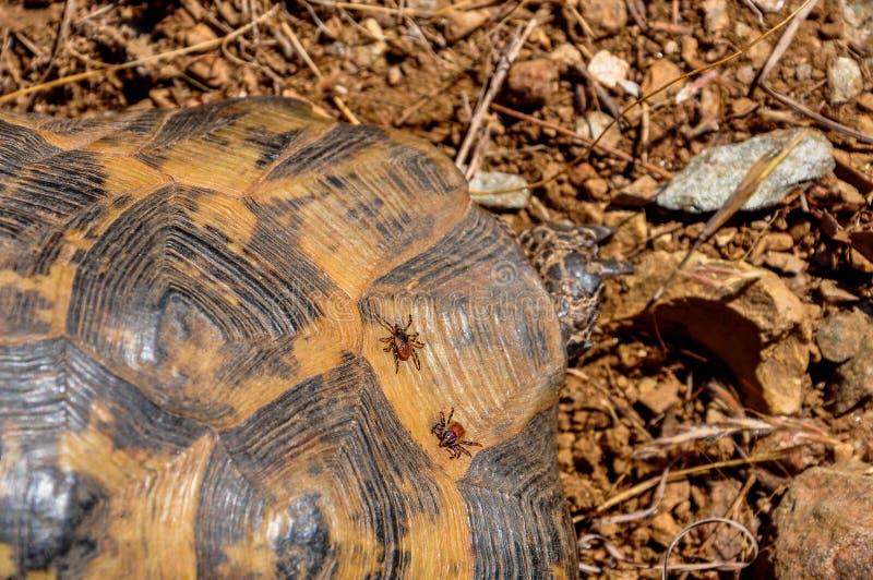 Ácaro do parasita que senta-se em uma tartaruga imagem de stock