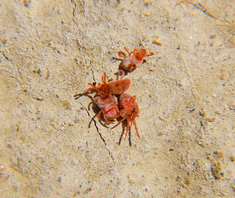 Ácaros do artrópode na terra Feche acima do ácaro vermelho macro de veludo ou imagens de stock royalty free
