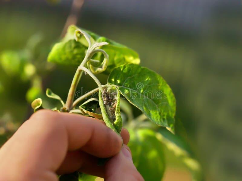 Áfidos en las hojas del primer de los manzanos imagen de archivo