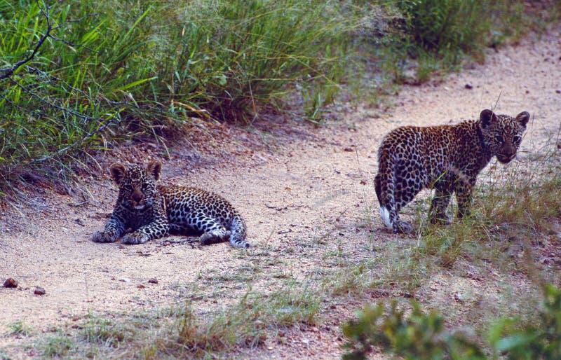 África do Sul: Dois copos do leopardo na estrada do cascalho fotografia de stock royalty free