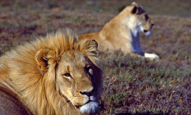 África do Sul: Um leão e uma leoa que relaxam fotos de stock