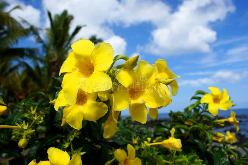 África mauritius El amarillo hermoso florece el Allamanda imagen de archivo