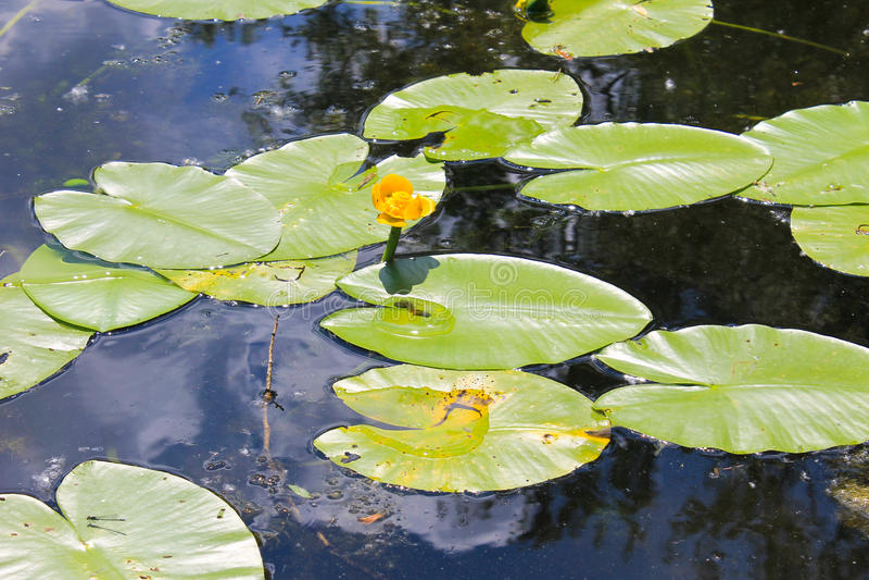 A água amarela floresce o Nuphar Lutea fotografia de stock royalty free