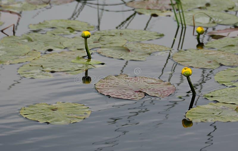 A água amarela lilly brota e folheia foto de stock