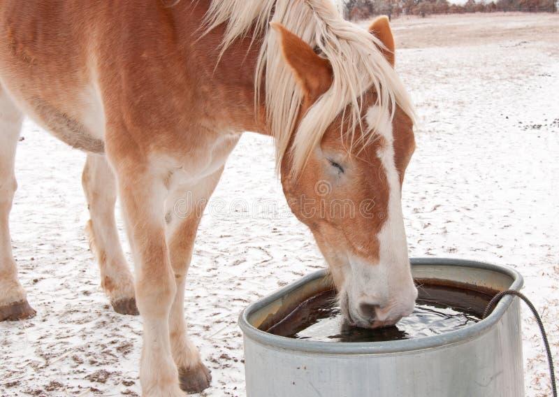 Água bebendo belga de cavalo de esboço fotografia de stock royalty free