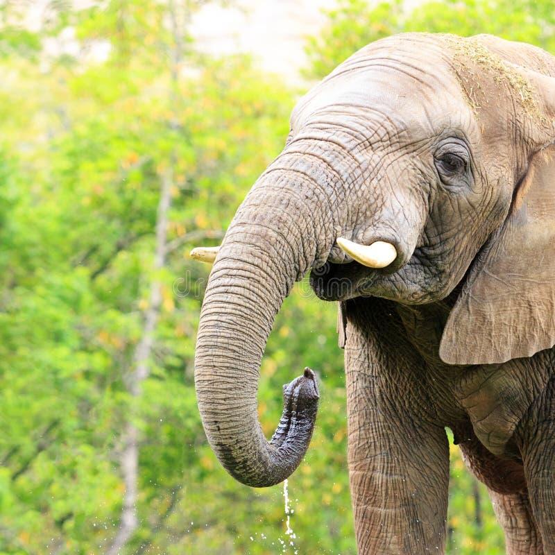 Água bebendo de elefante africano fotografia de stock royalty free
