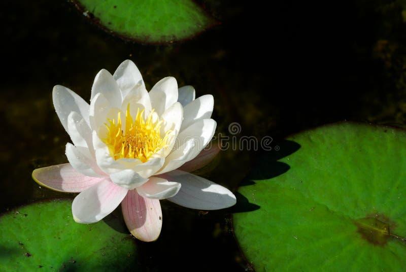 Água bonita lilly foto de stock