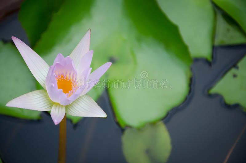 Água branca Lilly imagens de stock royalty free