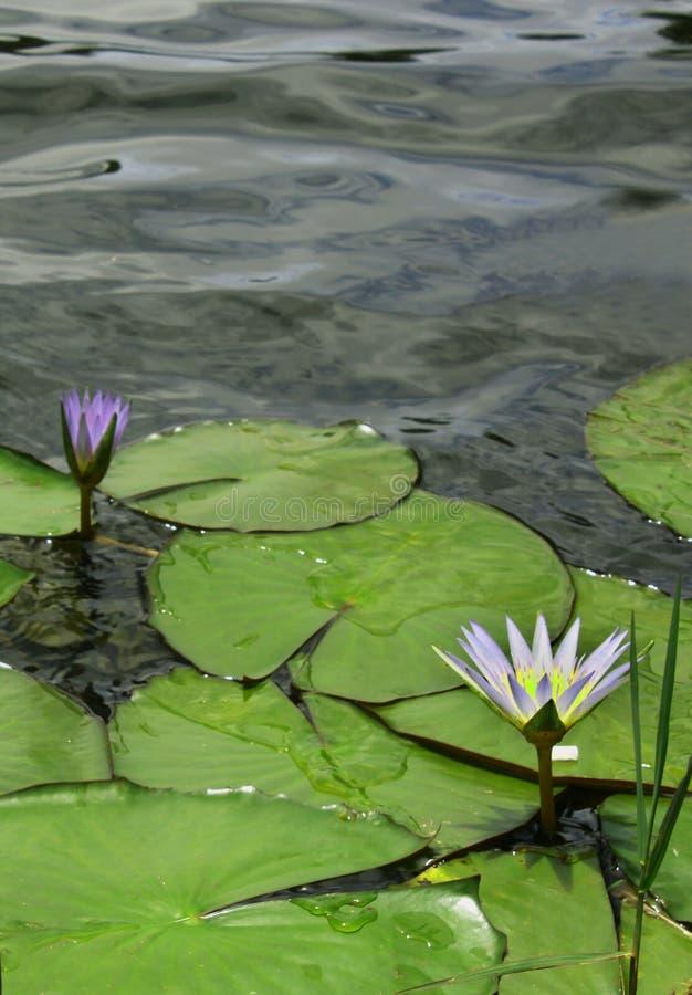 Água branca lilly com folhas imagem de stock