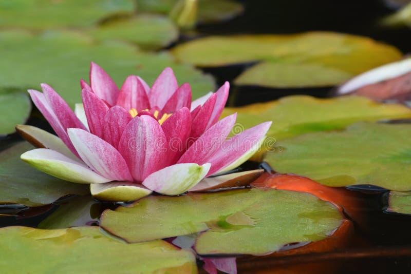 Água branca salpicada cor-de-rosa Lotus Orange Koi foto de stock royalty free
