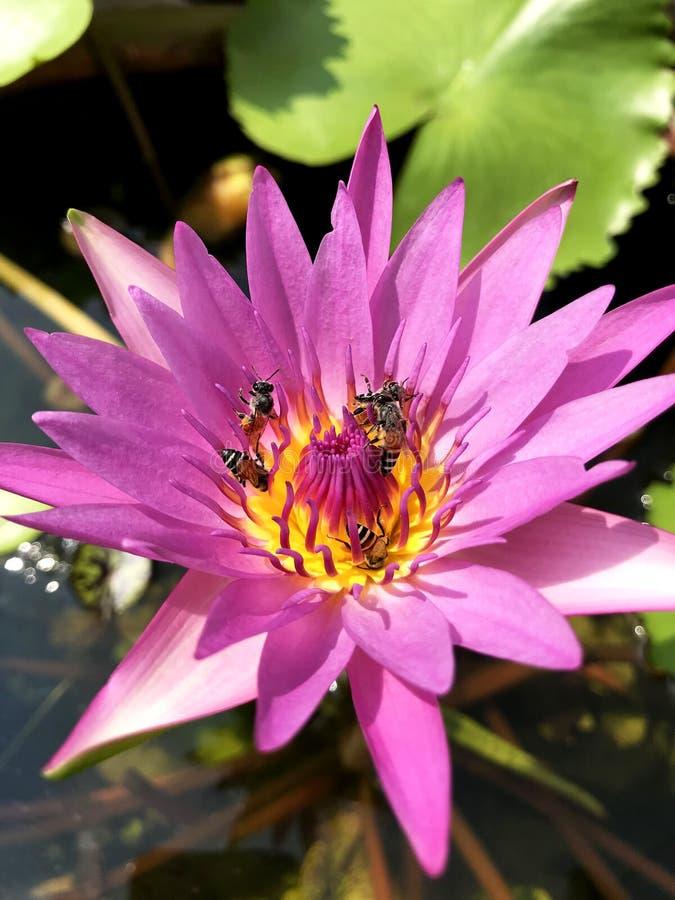 Água cor-de-rosa do lírio da abelha do inseto dos lótus foto de stock