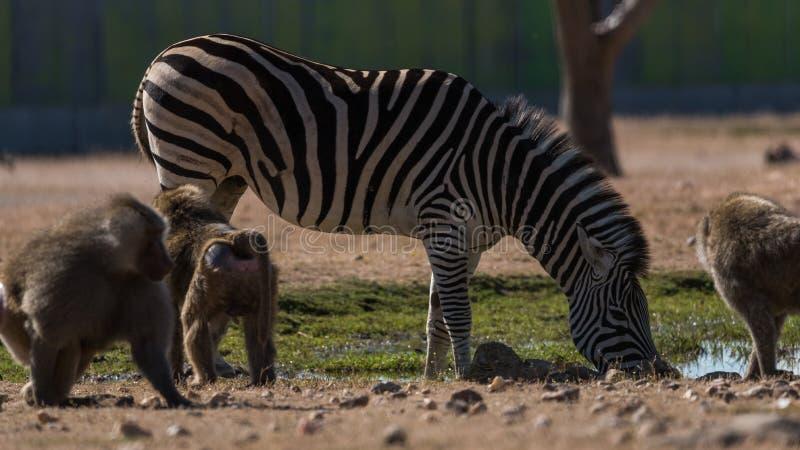 Água da bebida da zebra em torno de alguns macacos foto de stock