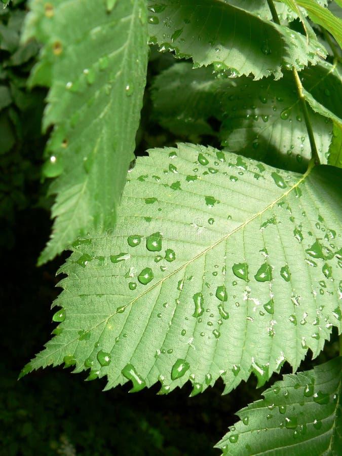 Água da chuva nas folhas imagens de stock royalty free