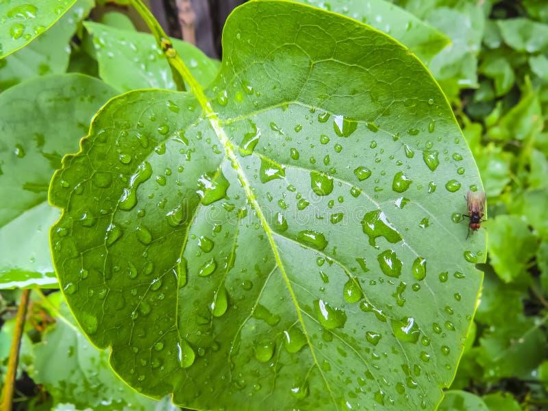 Água das gotas em leafes verdes imagem de stock