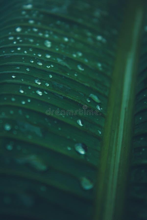 A água deixa cair nas folhas da árvore de banana fotografia de stock royalty free