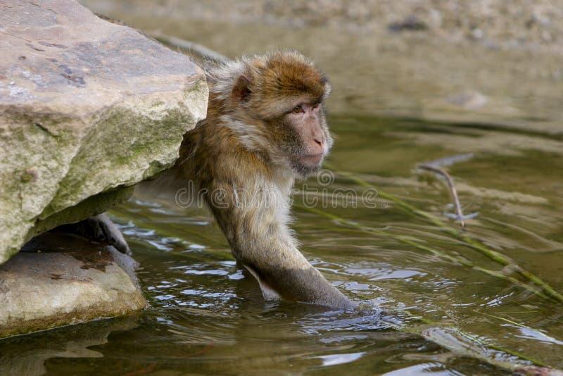 Água do macaco imagens de stock royalty free