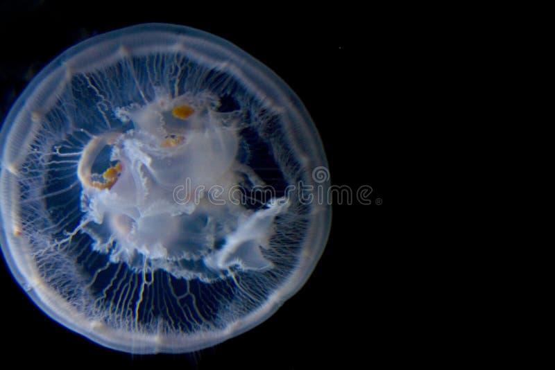 Água do preto das medusa da lua fotos de stock