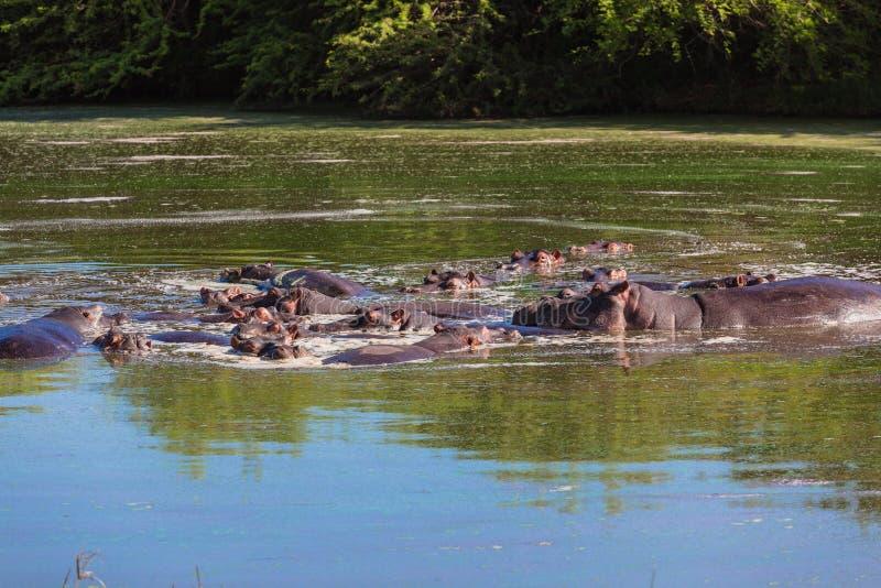 Água dos animais selvagens dos hipopótamos fotos de stock