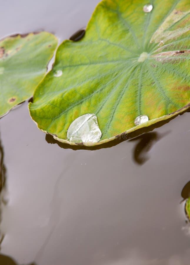 Água em uma folha dos lótus imagem de stock royalty free