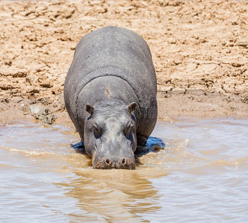 Água entrando do hipopótamo imagem de stock royalty free