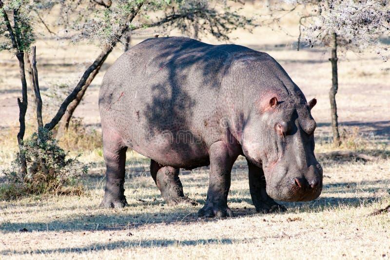 Água exterior do hipopótamo, close up, hipopótamo em Tanzânia, África fotografia de stock
