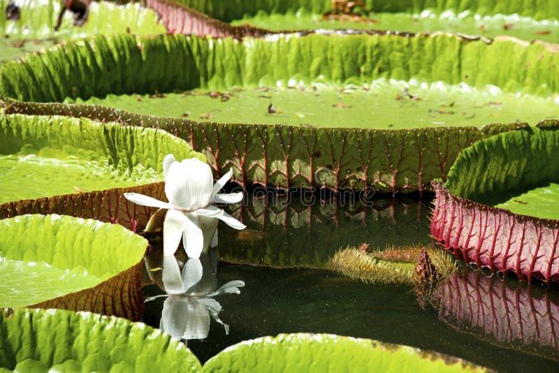 Água-lírio, Nenuphar Imagem de Stock Royalty Free