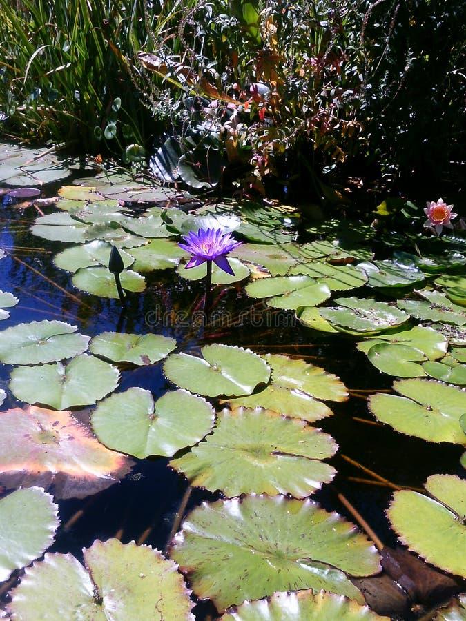 Água Lillies imagem de stock