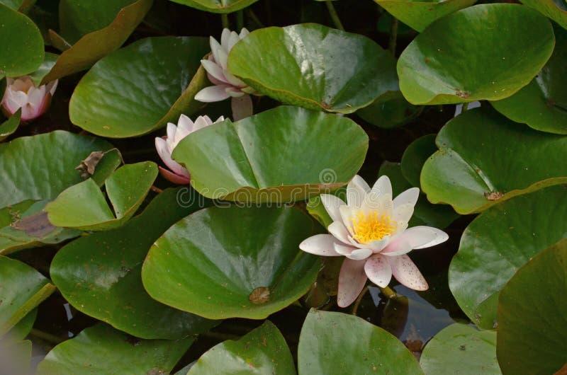 Água Lillies imagens de stock
