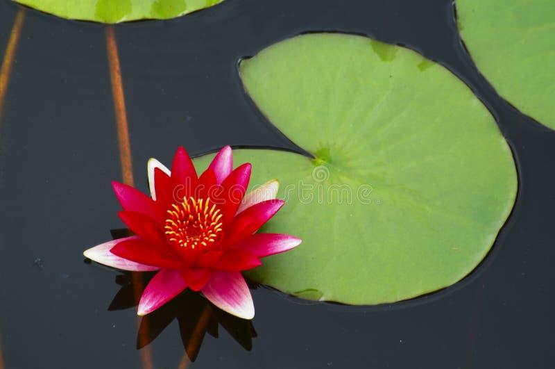 Água lilly foto de stock royalty free