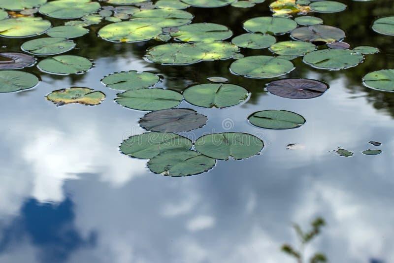 Água Lily Leaves no lago imagens de stock