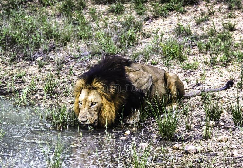 Água masculina da bebida do leão de uma lagoa no parque nacional de Kruger foto de stock royalty free