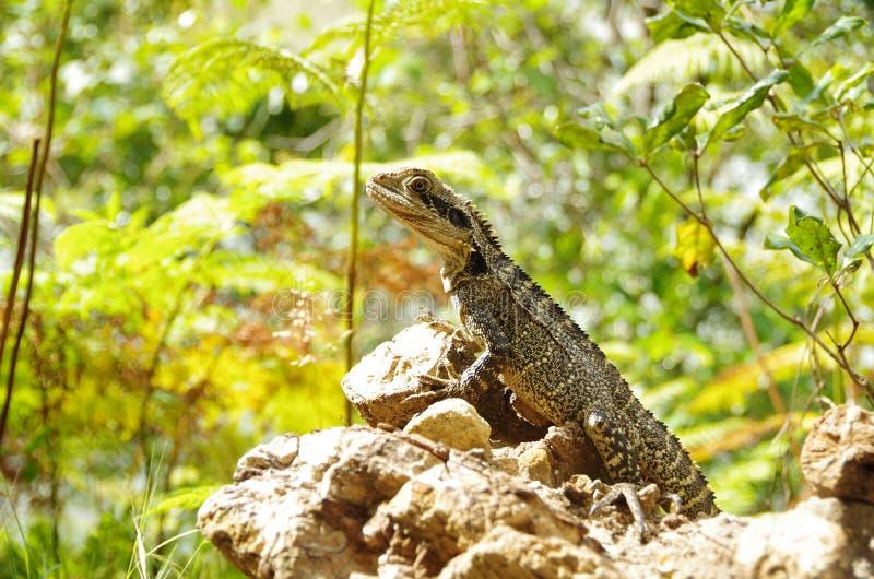 Água oriental australiana Dragon Lizard foto de stock
