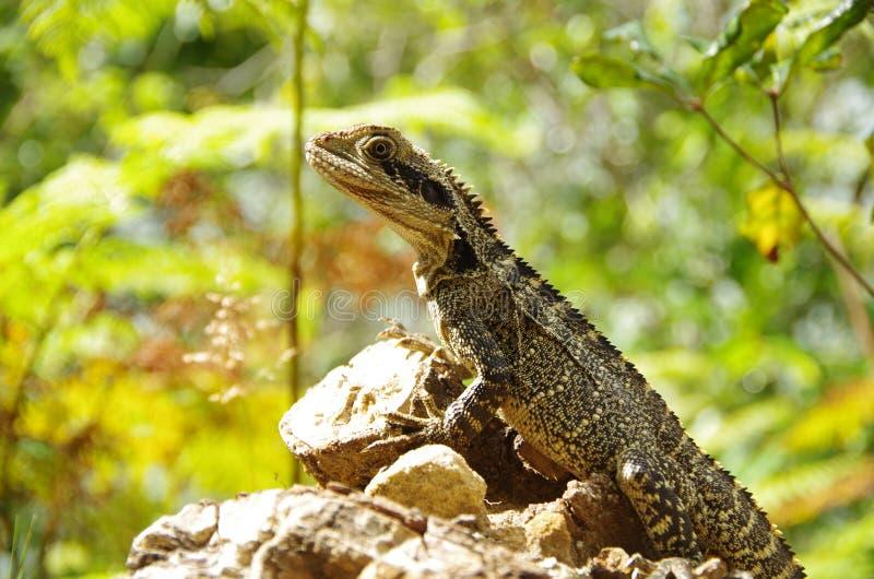 Água oriental australiana Dragon Lizard imagens de stock