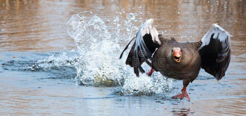 Água, pássaro, pássaro de água, gansos dos patos e cisnes