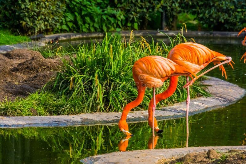 ?gua pot?vel americana dos pares do flamingo junto, p?ssaros tropicais coloridos de Am?rica fotografia de stock