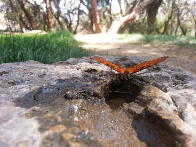 Água potável da borboleta fotografia de stock royalty free