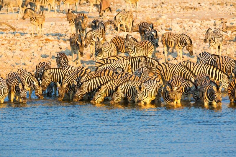 A água potável da zebra em Etosha NP imagens de stock royalty free