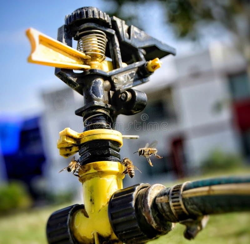 Água potável das abelhas foto de stock
