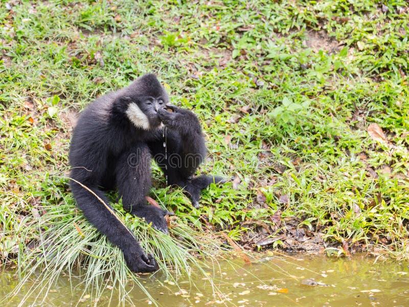 Água potável de Gibbon (gibão branco-cheeked) imagens de stock royalty free